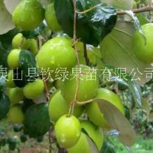 南北方种植果树苗大青枣蜜枣嫁接苗可地栽庭院种植包邮