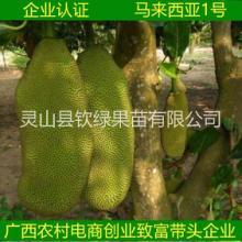 南北方种植果树苗马来西亚1号菠萝蜜嫁接苗可地栽庭院种植包邮图片