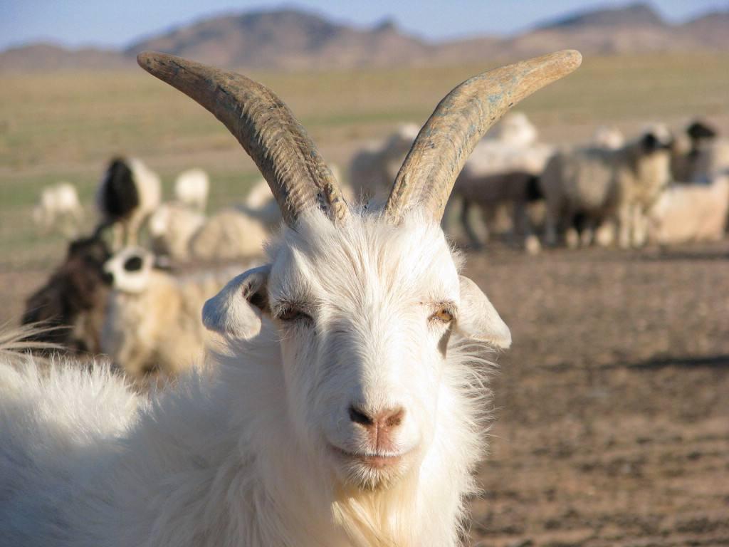 德绒山羊_哪里有绒山羊卖报价 绒山羊养殖场 绒山羊多少钱一只