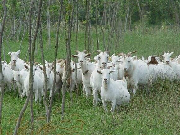 山东肉羊报价 山东肉羊品种 山东肉羊批发 山东肉羊养殖场
