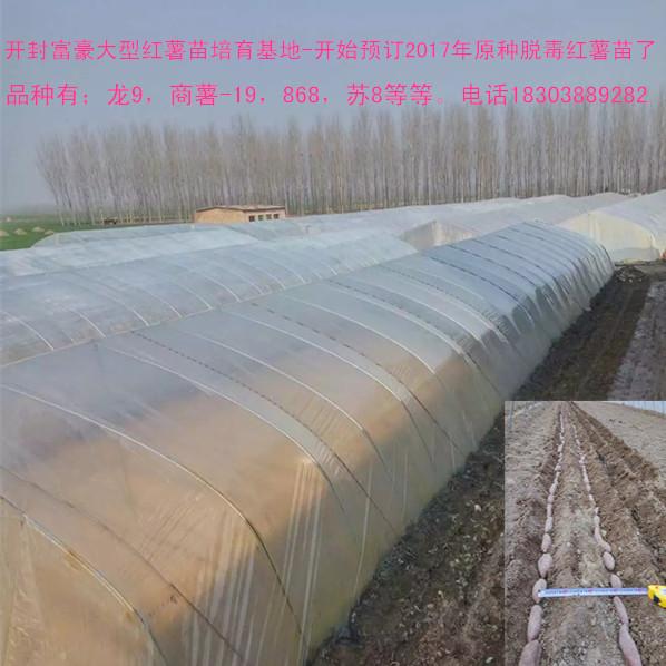 高淀粉红薯苗商薯19 供应高淀粉红薯苗商薯19