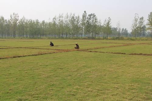 山东草坪种植基地 提供专业草坪绿化方案订制 提供大面积草坪移植服务