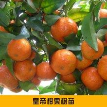 梅州水果种苗皇帝柑果树苗 抗寒抗旱抗病虫害贡柑果树苗木批发