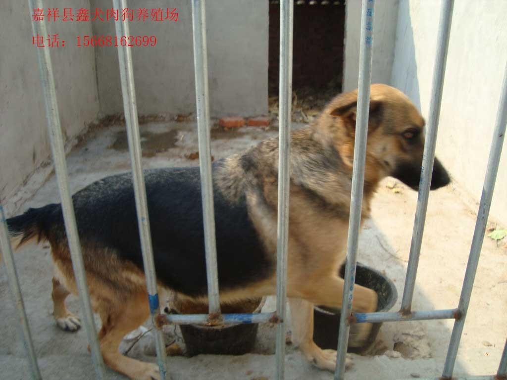 肉狗养殖的饲养管理方法