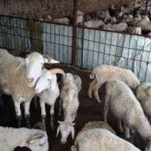 通榆县小尾寒羊养殖寒羊销售批发