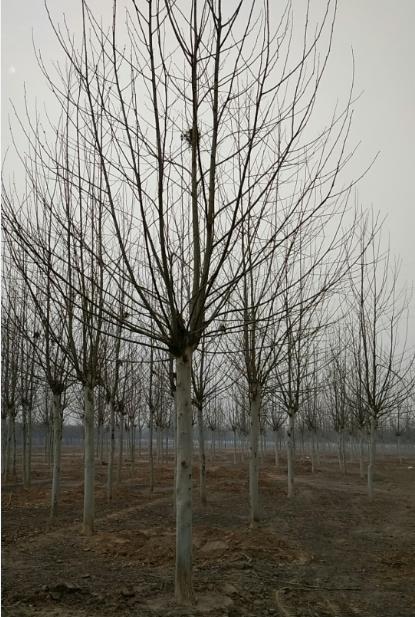 保定法桐批发 保定法桐价格 保定法桐种植园