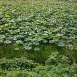 湖南碗莲种植基地,湖南碗莲种植基地电话,碗莲种植基地