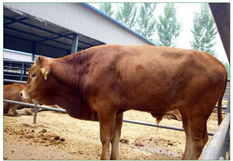 山东肉牛价格报价 山东肉牛哪家好 山东肉牛养殖场 常年优质提供