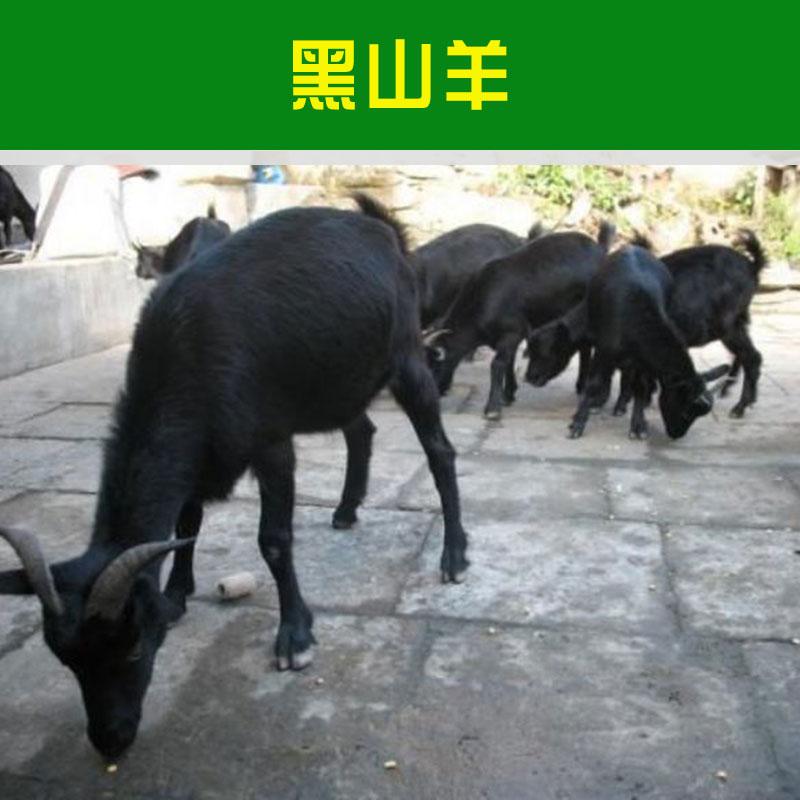 山东黑山羊价格 山东黑山羊批发 山东黑山羊羊羔 山东黑山羊羊仔