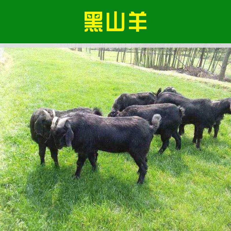 嘉祥盛泰养殖场供应黑山羊 高营养价值肉用山羊品种人工养殖黑山羊