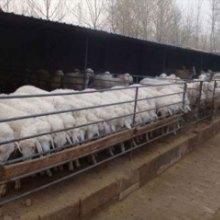 小尾寒羊养殖技术批发