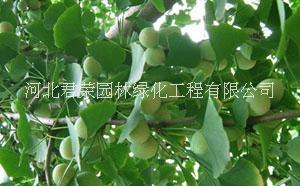 河北苗木基地供应1-3公分银杏