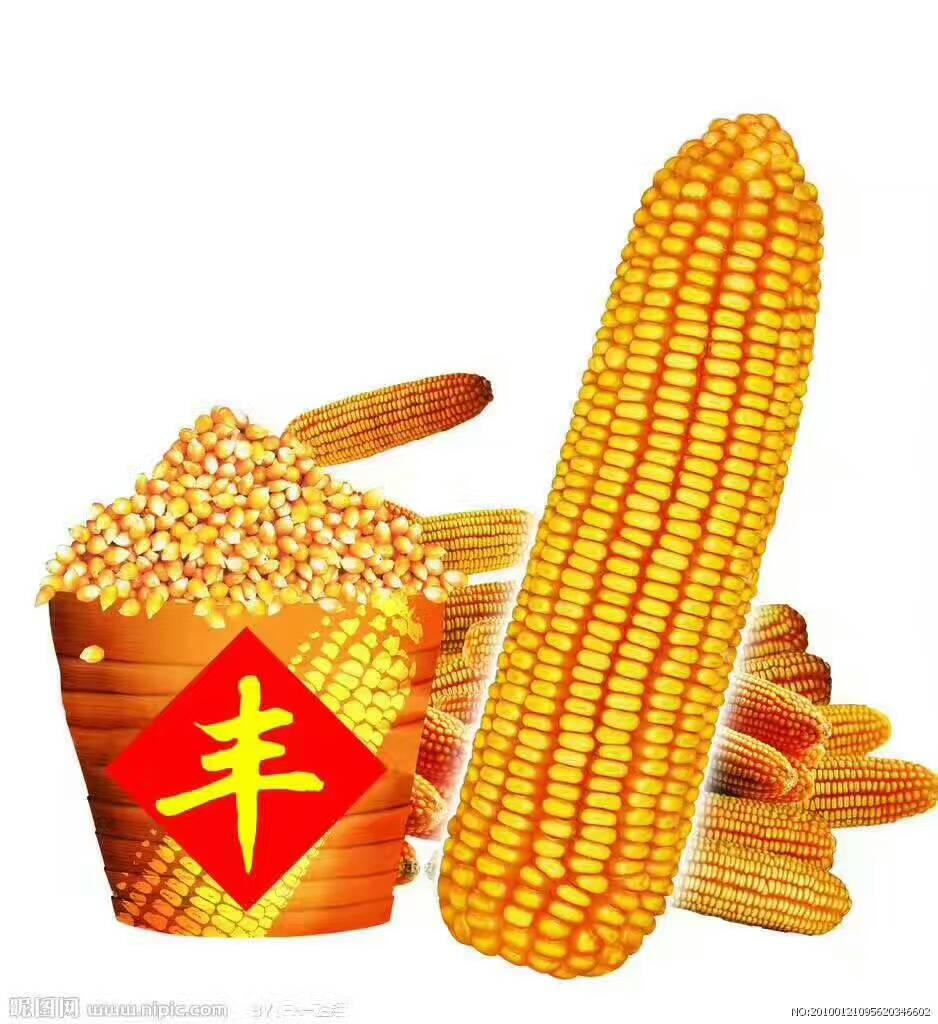 玉米 粮食