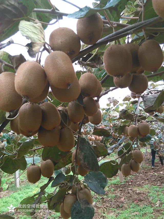 五斤眉县猕猴桃多少钱 一次性订购10件送同包装一件现摘现卖。
