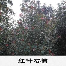 紅葉石楠出售霜重色逾濃低溫色更佳色彩艷麗價格實惠紅葉石楠植物基地圖片
