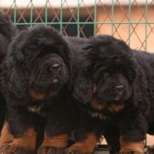 云南买狗网、云南哪里有纯种藏獒犬出售、纯种藏獒价格批发