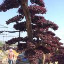 红花继木桩图片