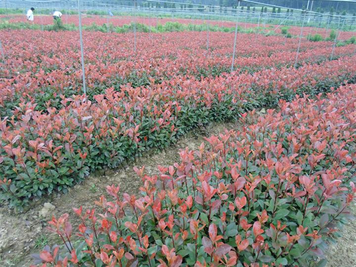 红叶石楠杯苗种植出售、红叶石楠杯苗生产基地、供应红叶石楠杯苗批发