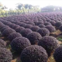 供应红花继木球种植基地、红花继木球基地直销、红花继木球低价批发批发