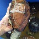 草龟养殖图片