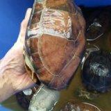 草龟养殖技术|龟苗养殖基地|草龟苗批发