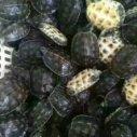 台湾草龟养殖场图片
