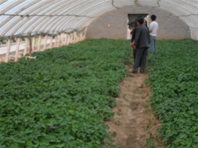 商薯19红薯苗