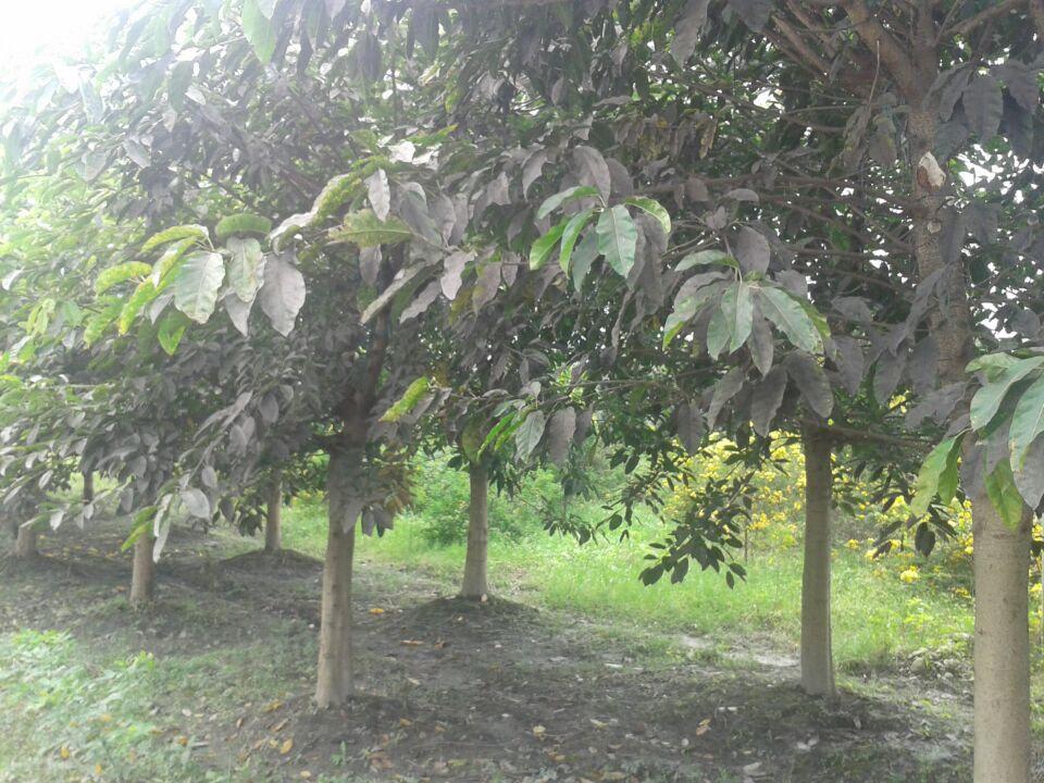 成都黄葛树