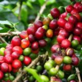 专业供应绿咖啡豆提取物 绿原酸  绿咖啡提取物