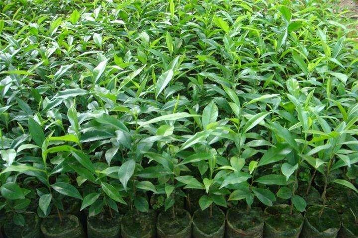 茂名 沉香小杯苗 种植基地 批发价格 供应商直销