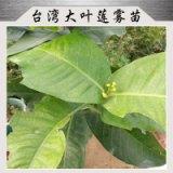 台湾大叶莲雾苗果肉呈海绵质略有苹果香味果色鲜艳价格实惠莲雾苗生产基地