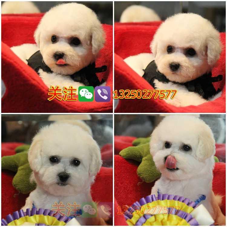 纯种法国卷毛比熊犬在深圳哪里可以买到健康纯种的比熊深圳哪里买到健康的比熊狗狗
