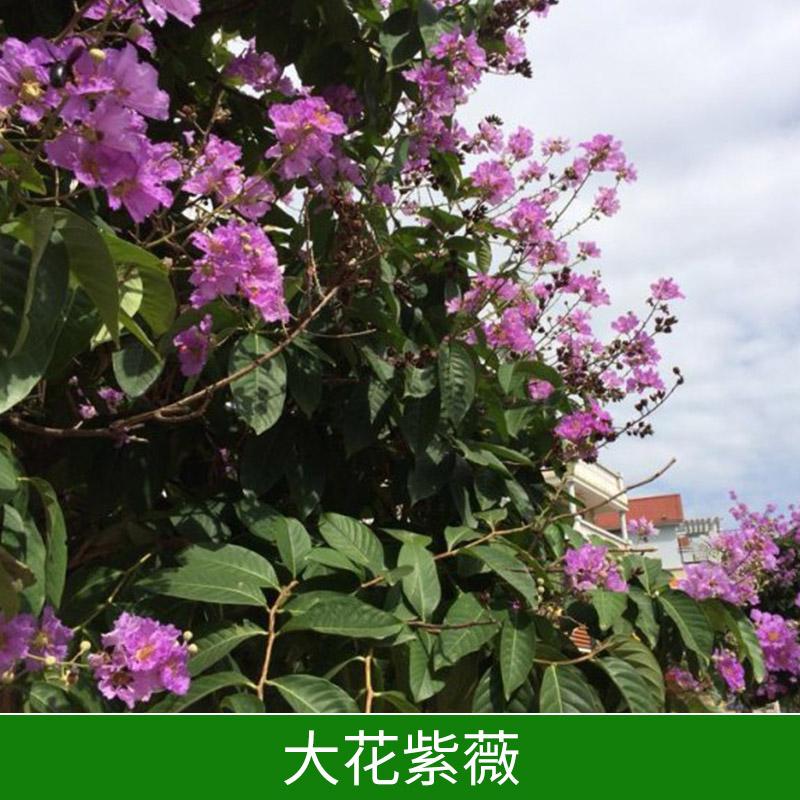 广东大花紫薇,广东大花紫薇价格,广东大花紫薇供应商,广东哪里有大花紫薇,大花紫薇种植