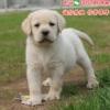 深圳哪里有卖拉布拉多犬,导盲犬图片