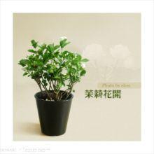 横县茉莉盆栽观赏花类当年开花 横县茉莉盆栽观赏花类当年开花