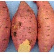 烟薯25报价图片