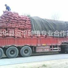 河南省洋葱基地万亩红皮洋葱大量上市低价供应批发