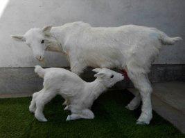 仿真动物皮毛仿真山羊仿真动物皮毛山羊供应商仿真动物皮毛山羊批发网