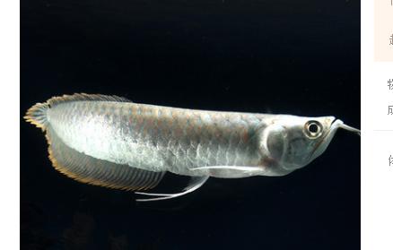 银龙鱼销售