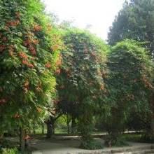 绿化苗木藤本类植物、藤本植物批发联系电话、海南藤本类植物基地联图片