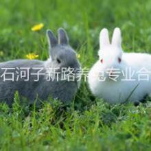优良种兔新疆兔子养殖场鲜活商品兔法系种兔