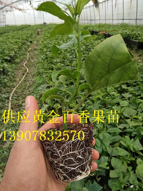 供应新品种黄金百香果苗,香甜百香果苗,黄金百香果苗价格
