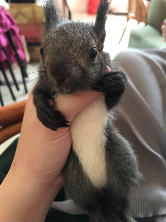 魔王松鼠山东松鼠养殖场哪里有卖松鼠的 魔王松鼠山东松鼠养殖场