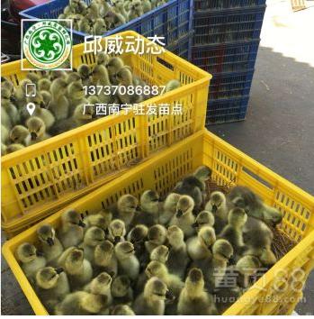 供应批发纯种狮头鹅苗马岗鹅苗大白鸭苗品种保证包打疫苗