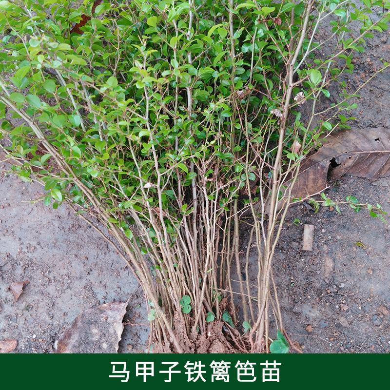 桂林铁篱笆苗 马甲子苗种植 铁篱笆苗直销