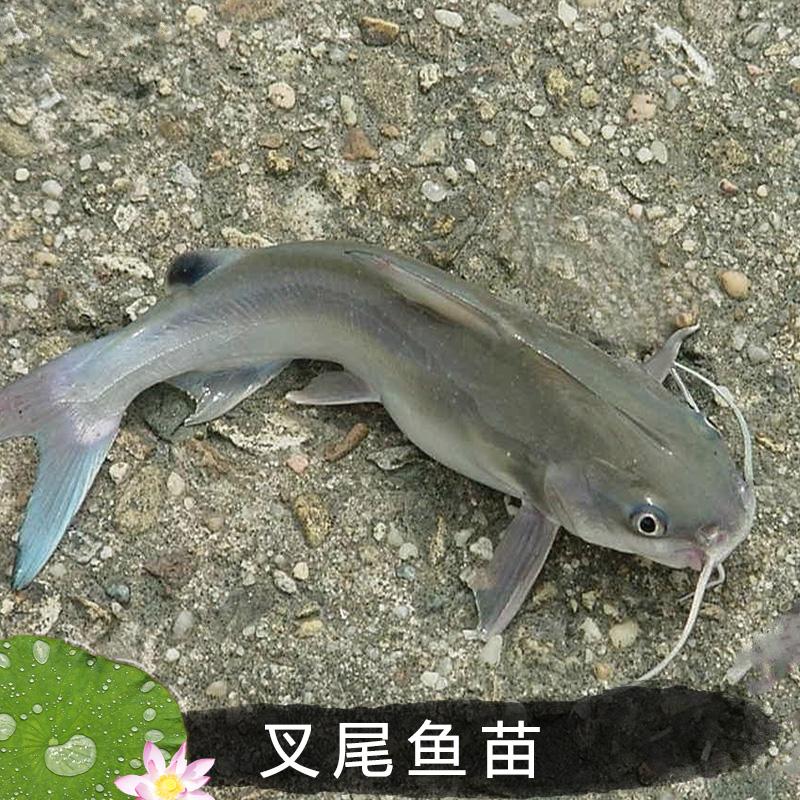叉尾鱼苗出售销售