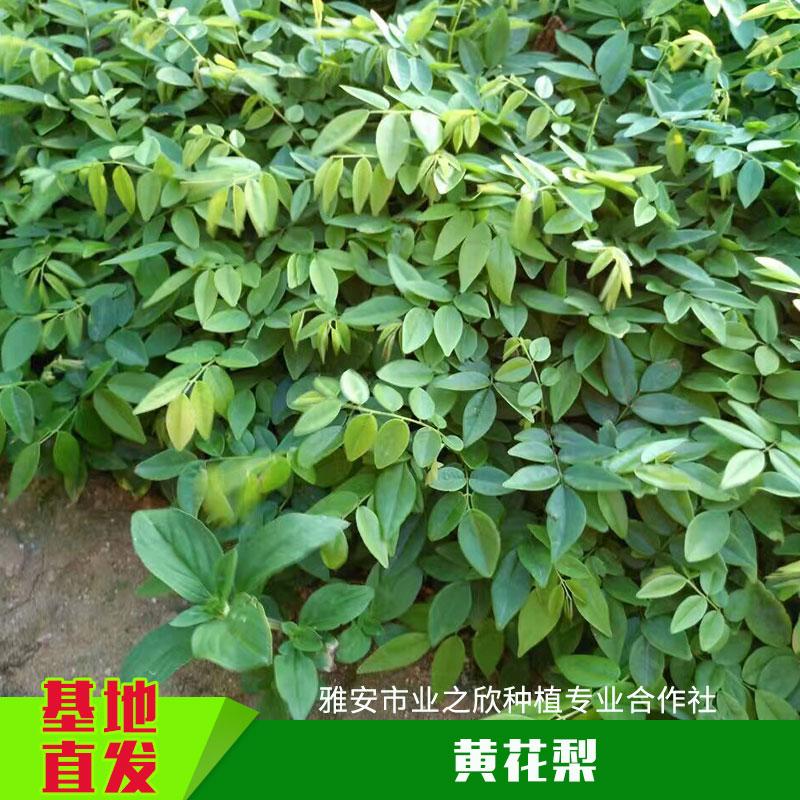 名贵珍稀树苗木黄花梨树苗优质降香黄檀木海南黄花梨木种苗批发