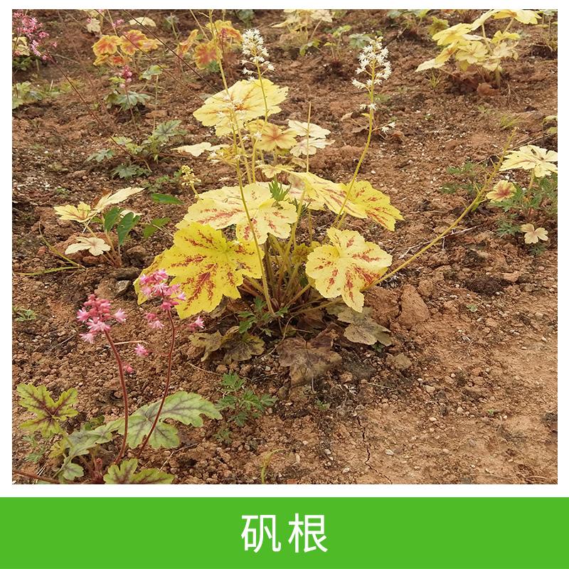 批发 矾根 盆栽苗 园林工程 绿化 耐寒 庭院地被 绿植 生产基地