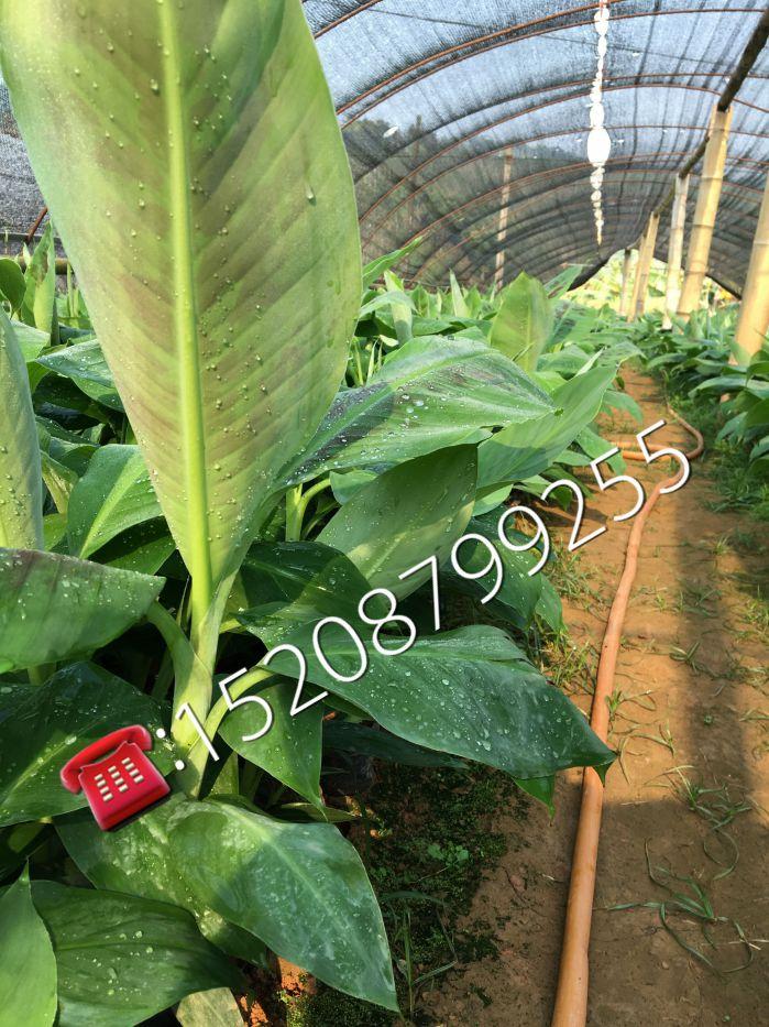 复绿工程苗香蕉二级苗批发价格 复绿工程苗香蕉二级苗批发商 云南复绿工程苗香蕉二级苗