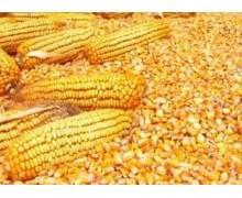 求购玉米 玉米 大米